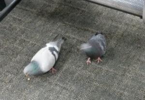 Pigeons Waiting